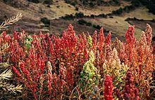 Qunioa Plant