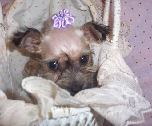 Miniature Yorkie Breeders In Ky | Dog Breeds Picture
