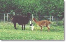 Llama, alpaca cria, alpaca